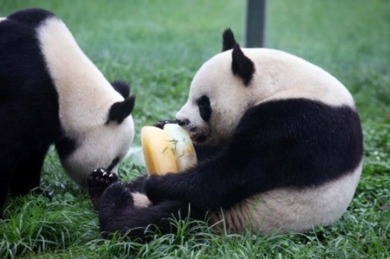 Panda hot