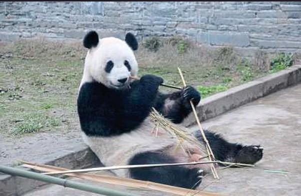 Pandas_Malaysia